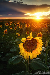 Sunflowers & Sunrays (rosacruzjl) Tags: aster colorado denver agriculture background blue city cloud conservation country crop dawn destination detail dusk energy environment farming field flower gold green landscape nature oil orange place red rural scenery scenic season seasonal sky spring summer sunflower sunlight sunrise sunset texture vibrant view wildflower yellow
