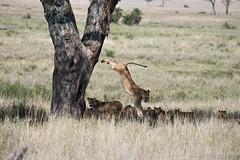 20170917 - Tanzania (981 von 1444).jpg (Jan Balgemann) Tags: big five bigfive tanzania afrika animals serengeti wildlife