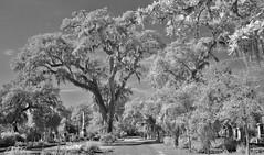 Bonaventure Live Oaks IR (Neal3K) Tags: bonaventurecemetery savannah georgia graves ghosts garden infrared bw blackandwhite 590nmfilter monochhrome spanishmoss live oaks