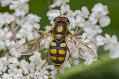 _IMG5789  Hoverfly (Pete.L .Hawkins Photography) Tags: petehawkins petelhawkinsphotography petelhawkins petehawkinsphotography pentax 100mm macro pentaxpictures pentaxk1 fantasticnature fabulousnature incrediblenature naturephoto wildlifephoto wildlifephotographer naturesfinest unusualcreature naturewatcher insect invertebrate bug 6legs compound eyes creepy crawly uglybug bugeyes fly wings eye veins flyingbug flying beetle shell elytra ground