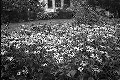 yellow daisies, Mary Alice's garden, Rockland, Maine, No. 1 Autographic Kodak Jr., Ilford FP4+, Moersch Eco Film Developer, 8.18.17 (steve aimone) Tags: daisies yellow flowers floral floralforms garden rockland maine no1autographickodakjr folder 6x9 antique ilfordfp4 moerschecofilmdeveloper 120 film 120film mediumformat monochrome monochromatic blackandwhite