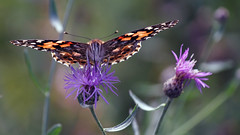 Painted Lady, Miller Creek, 09/29/17 (TonyM1956) Tags: elements sonyphotographing sonyalphadslr tonymitchell