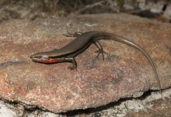 Red-throated Skink (Acritoscincus platynotum) (Heleioporus) Tags: redthroated skink acritoscincus platynotum south sydney new wales