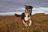 2july_Venus-Patterson-Sunset_039 (Stefán H. Kristinsson) Tags: venus dog sunset reykjanes iceland nikond800 tamron2875mm