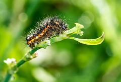 Hairy caterpillar (abiward) Tags: entomology caterpillar hairy macro macrophotography bug bokeh