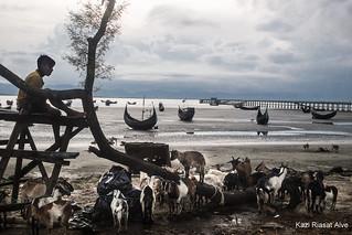 Cattles of Rohingya people