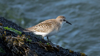 Semipalmated_Sandpiper_8897an