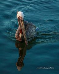 Pelican Reflection (tclaud2002) Tags: pelican bird wildlife animal reflection reflect nature mothernature sawfishbaypark jupiter florida usa