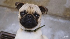 National Dogs Day. (N A S U B E T H) Tags: nationaldogsday pets pug dog brown lovely cute adorable perro mascota animal