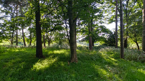 A copse of himalayan balsam near Woodford