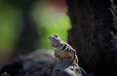Galapagos Lizard (pbmultimedia5) Tags: san cristobal galapagos national park ecuador lizard nature wildlife pbmultimedia