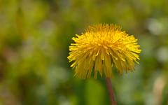 Mundo amarillo / Yellow world (Carolita✿) Tags: macro amarillo yellow dandelion 7dwf