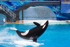 Shamu the killer whale (•tlc•photography•) Tags: shamu seaworld sandiego california usa orca killerwhale zoo aquarium entertainment water sea