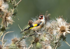 Goldfinch (Jim Crozier) Tags: goldfinch thistleseeds canoneos1dx canon300mmf28