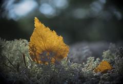 first falls (gnarlydog) Tags: adaptedlens kodakanastigmat63mmf27 nature leaf lichen sweden backlit contrejour bokeh speckledhighlights vintagelens manualfocus closeup texture swirly shallowdepthoffield subjectisolation