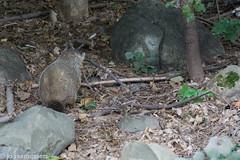 Curious woodchuck (jodeeras) Tags: september groundhog rock rocks sticks woodchuck woods