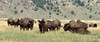 2017-08-18-0244 (mech_rosey) Tags: animal bison country elkranchflats grandtetons location usa wy