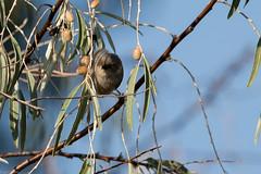 American bushtit (grobinette) Tags: americanbushtit riograndenaturecenterstatepark abq newmexico