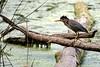Stalking the Juvenile Green Heron 4 (brev99) Tags: juvenilegreenheron tamron70300vc d610 oxleynaturecenter bird highqualityanimals photoshopelements12 pond nikviveza colorefex