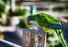 Cotorra comiendo pipas... (Leo ☮) Tags: cotorra ave bird color colour green verde luz light nature naturaleza pipas pico alimento morrojable fuerteventura islascanarias