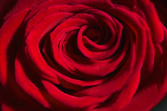 ... tight and cozy (mariola aga) Tags: rose petals red macro closeup naturethroughthelens alittlebeauty thegalaxy