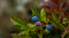 blueberry macro (c4mtr0n1) Tags: signalhill newfoundland weather vacation photography
