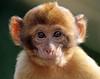 barbary macaque Apenheul BB2A2744 (j.a.kok) Tags: berberaap barbarymacaque barbarymonkey animal aap apenheul mammal monkey europe europa afrika africa zoogdier dier