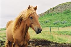 Iceland Adventures ! (Hëllø i'm Wild) Tags: analog film 35mm iceland icelandadventures travel trip nature breathe adventures outdoor hike olympusom10 lomographycolornegative400 animal horse
