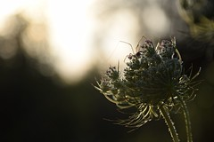 summer moods (JoannaRB2009) Tags: summer mood meadow flower spider insect animal sunset plant closeup nature hesse hessen germany deutschland calden