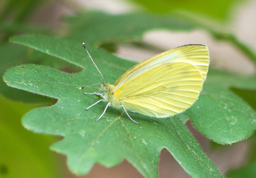 Брюквенница / Pieris napi / Green-veined White / Rapsweißling