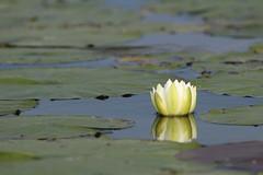 aIMG_9877 (hottmoose) Tags: darlingtonprovincialpark ontario flower lilypad nature