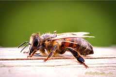 Resting Bee (jodalton77) Tags: stack nature wildbiene insekt makro wildlife outdoor tele fokus