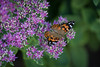 Painted Ladies (Phil Roeder) Tags: desmoines iowa canon6d canonef70200mmf4lusm butterfly paintedlady flower purple
