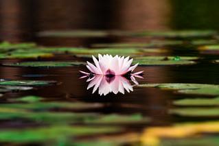 睡蓮/ Water lily