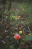 Fly agaric (Amanita muscaria) (~ Maria ~) Tags: tyresta forest autumn nature nationalpark sweden september 2017 mariakallinphotography nikond800 nikon2470mm mushroom amanitamuscaria flyagaric flugsvamp poisonous