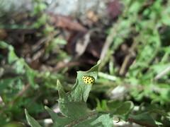 100_6946 (jeanchristophelenglet) Tags: cergyvaldoisefrance insecte insect inseto coccinelle ladybug joaninha jaune yellow amarela