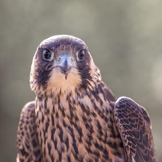 Falcon eye to eye...