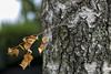 Autumn/Herbst (St/W) Tags: leicam9p leicaaposummicron2050asph leica aposummicron 2050 asph tree baum holz badhomburg herbst autumn
