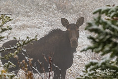 Young Moose keeping watch