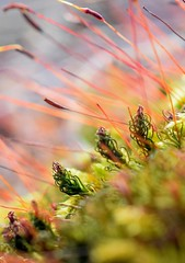 Moss Flowers (Macro Lord) Tags: macro moss spores