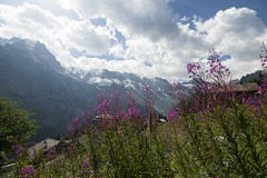 Alpine Dreams (...in the woods...) Tags: alpes alps flowers flores alpine suiza suisse mürren switzerland nature naturaleza montaña mountain