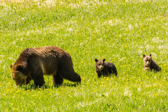 Flower children (ChicagoBob46) Tags: grizz grizzly grizzlybear bear cub cubs coy cuboftheyear yellowstone yellowstonenationalpark nature wildlife ngc coth5 npc
