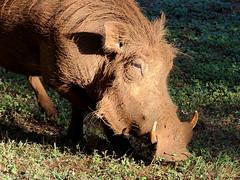 Vlakvark / Warthog (Bruwer Burger.) Tags: vlakvark warthog naturethroughthelens coth5 like me first thing morning