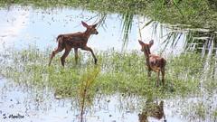 Fawns - Bambi and Ivandoe (Suzanham) Tags: canonpowershotsx60hs bambi wildlife nature noxubeewildliferefuge mississippi does landscape waterscape whitetaildeer animals mammal wading two deer fawns