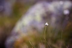 Tiny focus point (CecilieSonstebyPhotography) Tags: grass rock markiii flowers summer canon5dmarkiii flower july bokeh canon straw straws 135mmf18dghsmart017