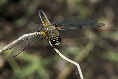 Biplane (Tim Camin) Tags: dragonfly macro nature forest insect libelle makro natur wald pond teich nikon tamron