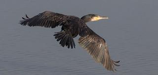 Cormorant 'Phalacrocorax carbo'