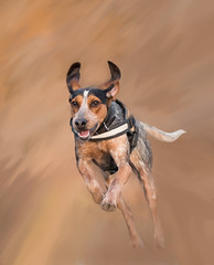 Flight of the Hound Dog (Tracy Munson Photography) Tags: action coonhounds digitalart digitalpainting dogjumpingintheair dogphotography dogs dogsinaction hounddogs hounds jumpingdog paintedeffect painterly petphotography petportraits rescuedogs runningdog