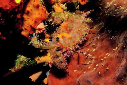 CelebesDivers - underwater 16 (Saron spp)