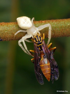 Crab spider & Paper wasp & Flies